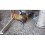 10 Rare Liege  Belgium Gamefowl Chicks